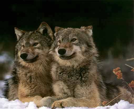 The 2 Wolves (Story)