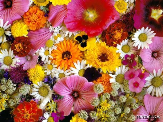 Click to Enlarge -Beautiful Colorful Flowers Wallpapers