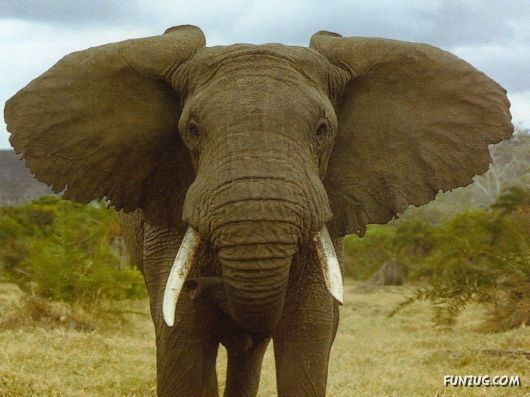 Click to Enlarge - Beautiful Elephants Wallpapers