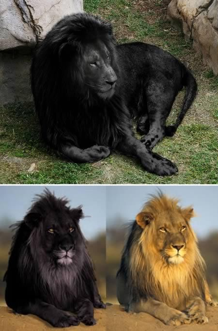 Most Amazing Melanistic Animals