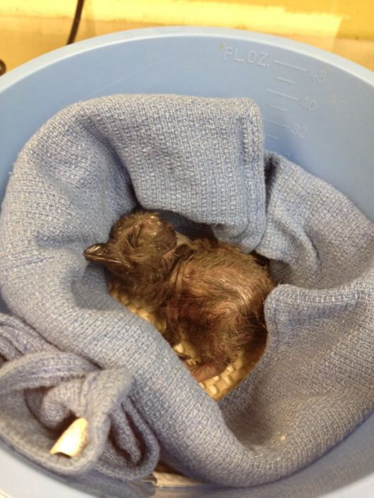 Famous Cincinnati Zoo Names Its Newest Baby Penguin Bowie