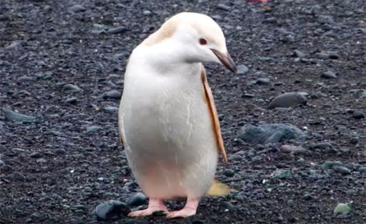 Cute Rare Albino Penguin Spotted Chilling On The Shores Of Antarctica