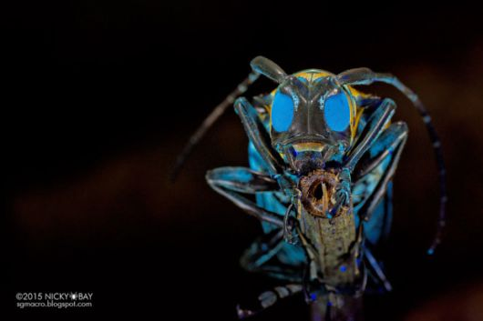 Unusual Insects From Singapore In Macro Photographs